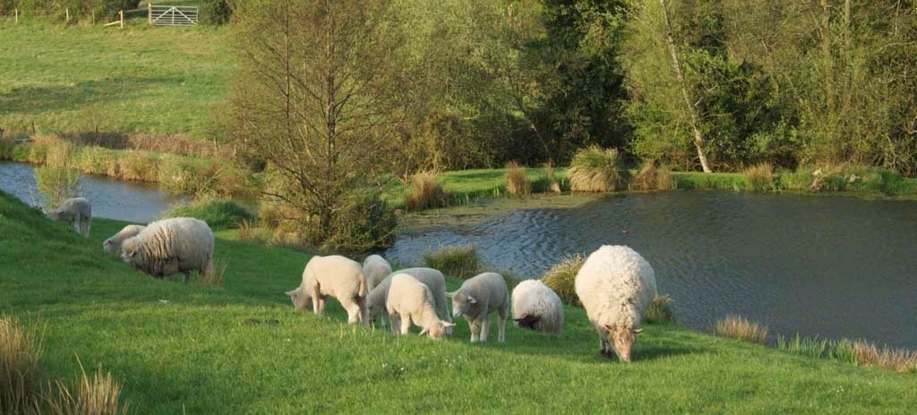 Our contented sheep...