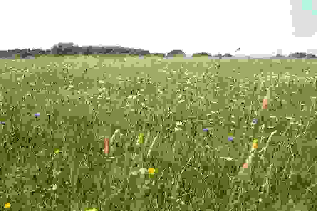July meadow in Kingcombe Meadows
