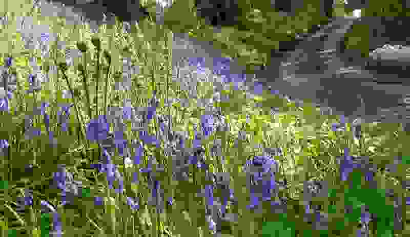 Bluebells and ferns in Foxholes lane