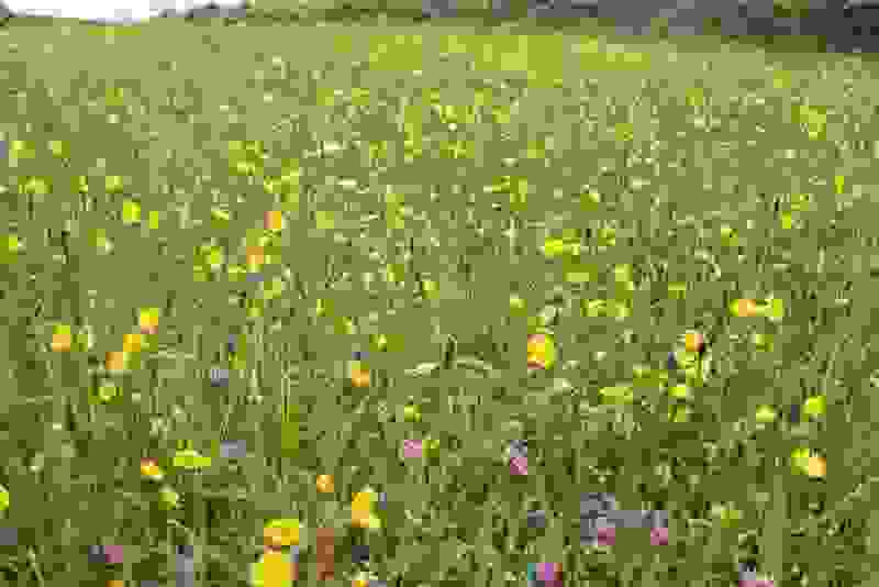 The colourful sight of a wildflower meadow