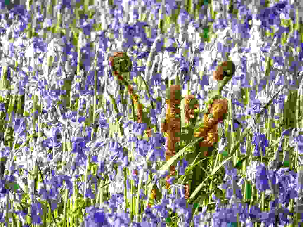 Bluebells and ferns adorn banks in May